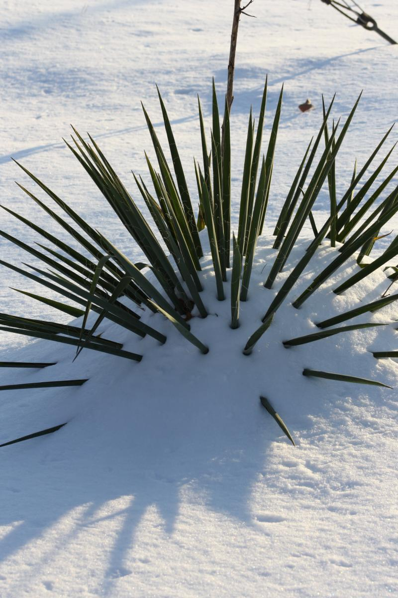 The Yucca, always stalwart